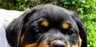 XXIsecolo_Rottweiler