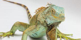XXIsecolo_Iguana