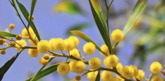 mimosa_21secolo_angelaceraso