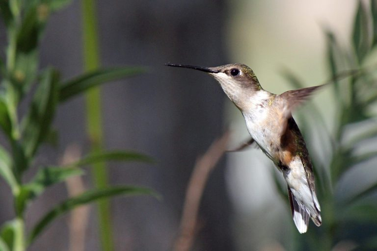 I colibrì